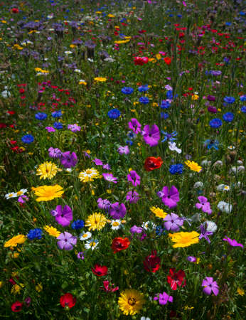 as far as the eye can see: Multi-coloured wild flowers fill every inch of this meadow as far as the eye can see. Selective focus blurs the background and the foreground highlighting the flowers in the centre ground Stock Photo