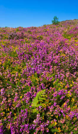 Lush purple and pink bell heather and verdant pine and spruce trees on Canford Heath, Poole, Dorset near Bournemouth