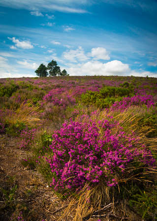bournemouth: Lush purple and pink bell heather and verdant trees on Canford Heath, Poole, Dorset near Bournemouth
