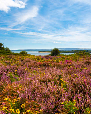 Lush purple and pink bell heather and verdant trees on Heathland, Hamworthy, Poole, Dorset near Bournemouth. The islands of the harbour can be seen in the distance