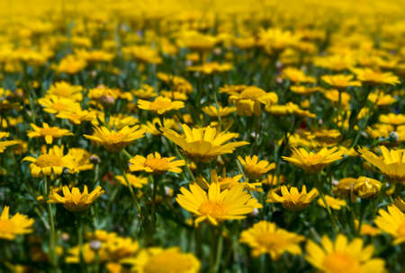 as far as the eye can see: Yellow wild flowers fill every inch of this meadow as far as the eye can see. Selective focus blurs the background and the foreground highlighting the flowers in the centre ground