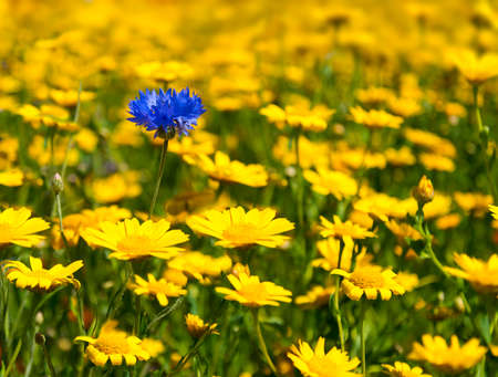 as far as the eye can see: Yellow wild flowers fill every inch of this meadow as far as the eye can see except for a single blue cornflower peeping out from between yellow daisies. Selective focus blurs the background and the foreground highlighting the flowers in the centre ground