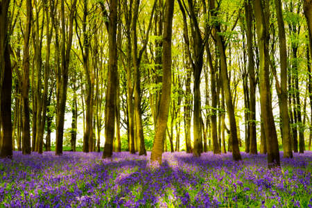 늦은 저녁 태양에 bluebells의 카펫을 조명 Oxforshire의 너도밤 나무의 덩어리를 통해 빔
