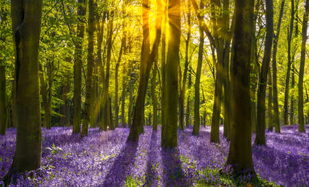clump: The late evening sun beams through a clump of beech trees in Oxforshire illuminating a carpet of bluebells Stock Photo