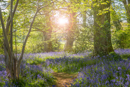 The purple and blue flowers are brightly illuminated by the sunlight that dapples through the leafy, green canopy. Stock Photo