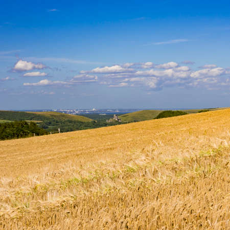 Ripening wheat basks in the hot sun in a Dorset field above Kimmeridge with a view accross to Corfe Castle and Bournemouth in the far distance