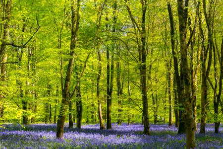 Sun streams through bluebell woods with deep blue purple flowers under a bright green beech canopy
