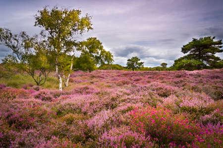 Dramatic skies over Purple and pink heather on Dorset heathland near Studland Stok Fotoğraf