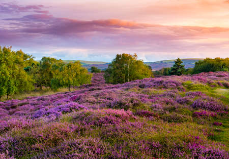 Dramatic skies over Purple and pink heather on Dorset heathland near Studland Stok Fotoğraf - 119118452