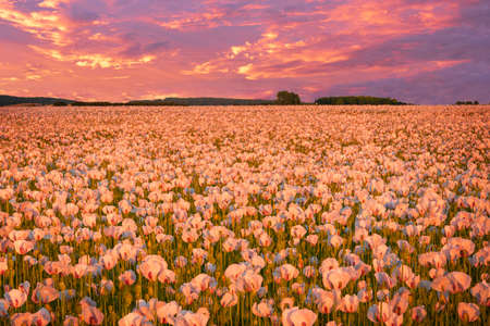 Field of poppies used in the pharmaceutical industry