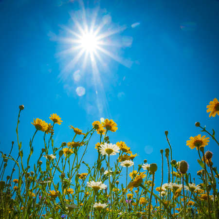 Daisies and Dandelions in a meadow under blue skies and bright sunshine Stock Photo