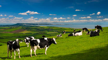 Cows in Green fields of the Dorset countryside near Portland and the Fleet