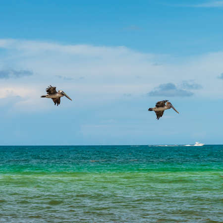 Brown pelicans flying over blue-green seas at Miami Beach