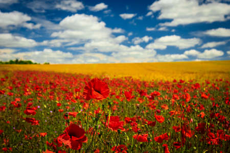 A field of red poppy flowers in the Dorset countryside