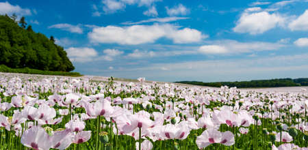 White poppies - used in medicine and food industries - growing by the million in fileds in Dorset Stok Fotoğraf