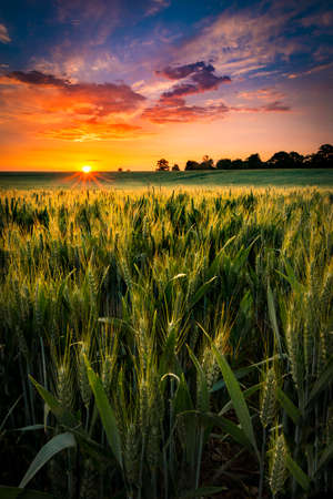 The sun sets over a wheat field in Northamptonshire