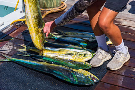 Several common dolphinfish or mahi-mahi in Key West Stok Fotoğraf