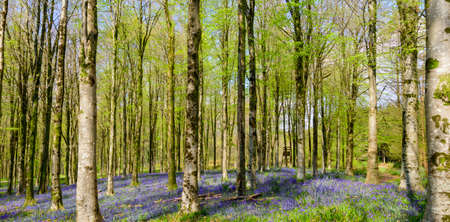 The sun beams through a clump of beech trees in Dorset illuminating a carpet of bluebells Stock Photo