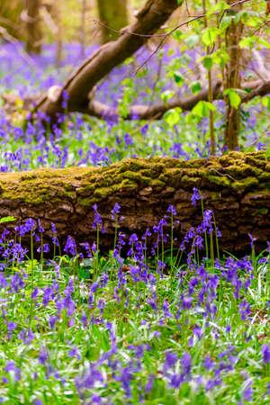The late evening sun beams through a clump of beech trees in Dorset illuminating a carpet of bluebells Stock Photo