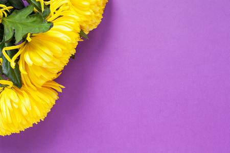 Vibrant yellow chrysanthemums on Spring Crocus Purple background. Flat lay. Horizontal. Mockup with copy space for greeting card, social media, flower delivery, Mother's day, Women's Day