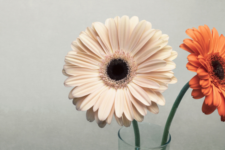 Two gerber flowers in glass jar, daisies blooming, isolated on grunge background Stock fotó