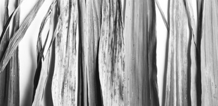 Black and white natural texture, close-up of bamboo leaves