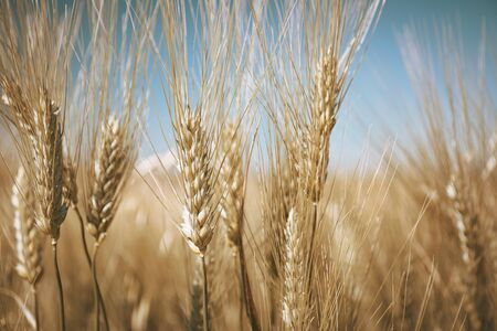 Agriculture, ears of wheat and blue background