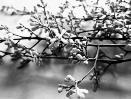 Black and White flower buds Standard-Bild