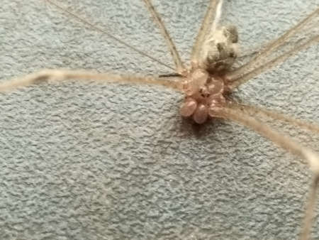 Fornt view of spider