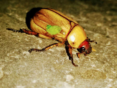 A picture of big brown beetle with dark background