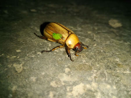 A picture of brown beetle with dark background