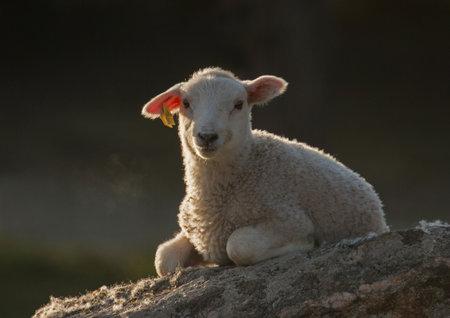 Lamb on a stone
