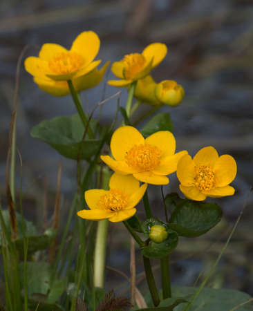 palustris: Caltha palustris, a flower that grows in the water in spring
