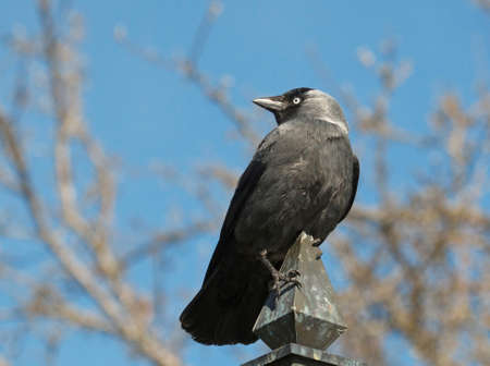 Jackdaw sitting on an old street lamp in the city Trosa Sweden photo