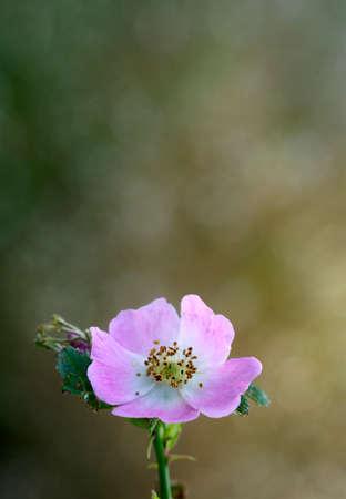 wild rose photo