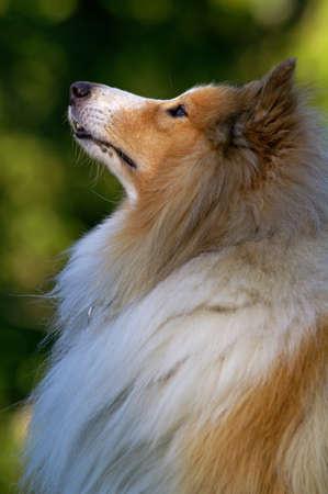 sheltie: Expectant Sheltie dog