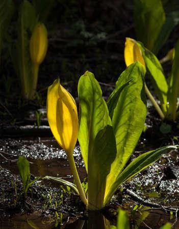 marsh plant: MALODOROUS marsh plant