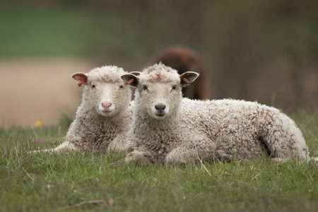 bleating: Lamb lying in the grass Stock Photo