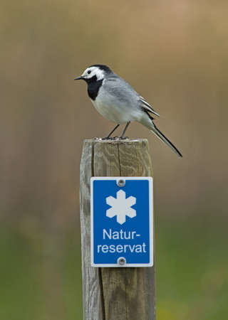 Wagtail on a pole photo