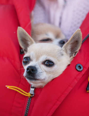 Chihuahua sitting in jacket photo