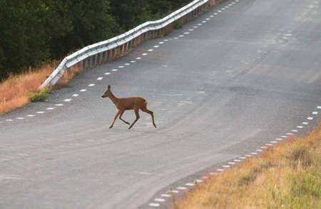 Roe herten op de weg