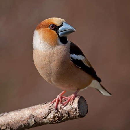 Hawfinch photo