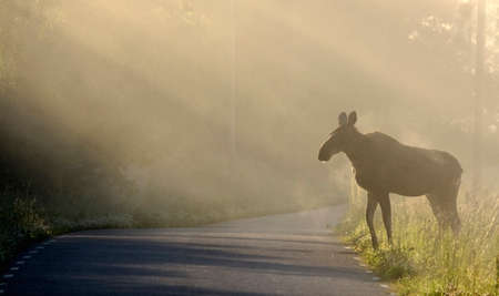 Moose on the way to cross the road photo