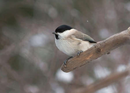 poecile palustris: Willow tit