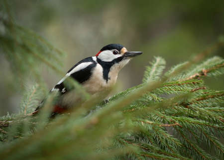 Dendrocopos major, Great spotted woodpecker photo