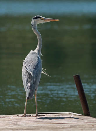 cinerea: Grey Heron, Ardea cinerea. Stock Photo