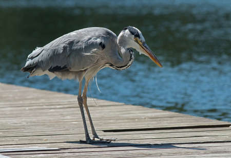 waterbird: Heron looking for fish by a slot in the bridge.