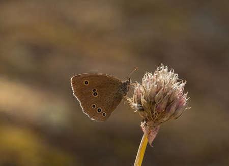 ringlet: Aphantopus hyperantus, ringlet.
