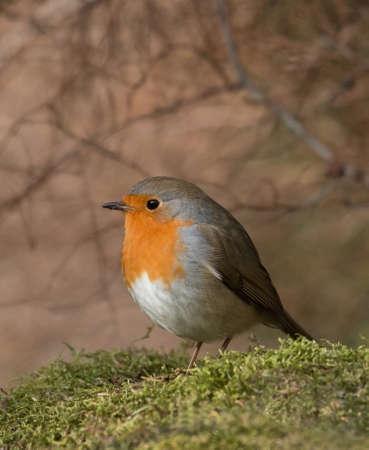 rubecula: Erithacus rubecula, European robin,