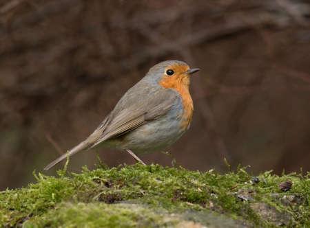 erithacus: European robin, Erithacus rubecula Stock Photo